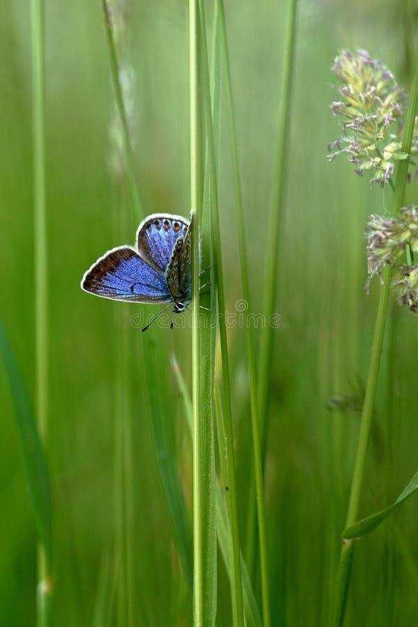 Papillon dans l'herbe images libres de droits
