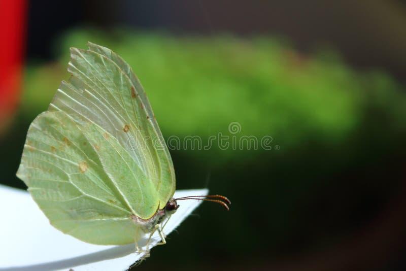 Papillon dans le macro photographie stock libre de droits
