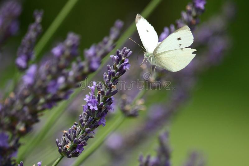 Papillon de blanc de chou en lavande photos libres de droits
