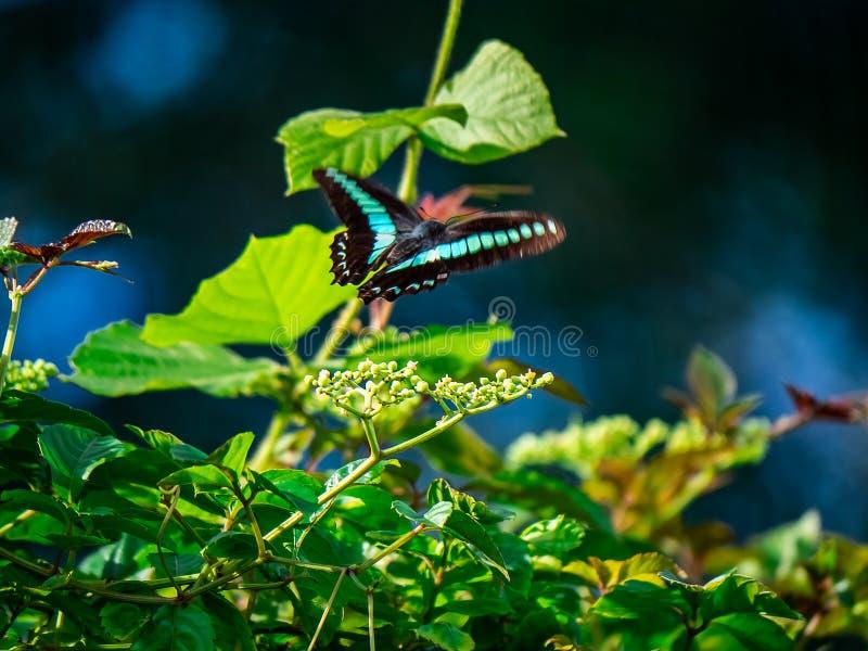 Papillon de bleuet en vol au-dessus des bourgeon floraux photo libre de droits