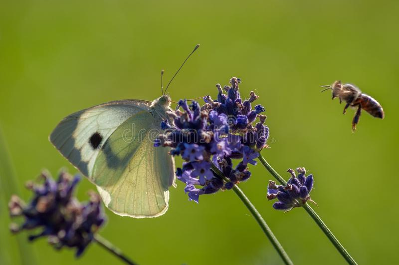 Papillon de brassicae de Pieris sur le levander image libre de droits
