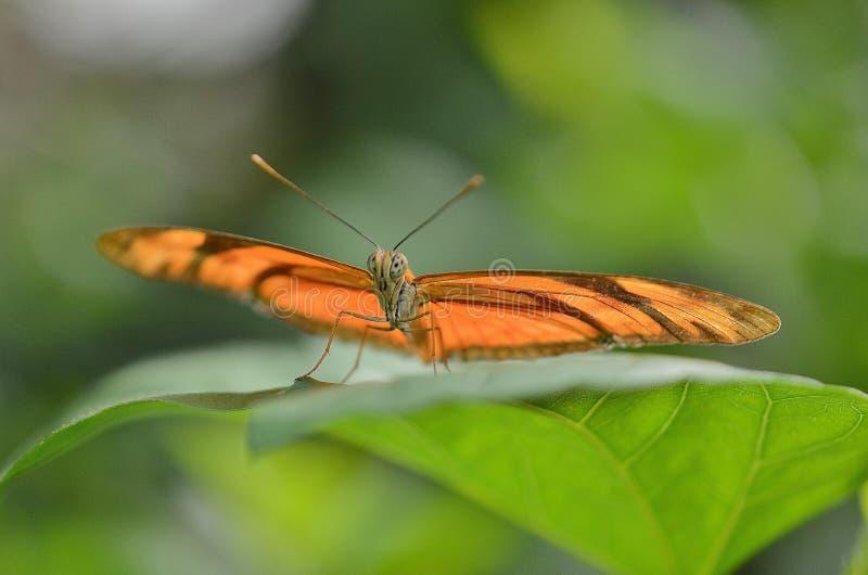 Papillon de Brown sur la feuille dans la macro photographie images stock