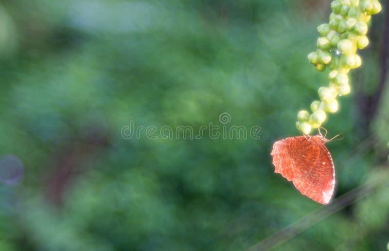 Papillon de Brown sur la graine de pinnata d'Arenga photographie stock libre de droits