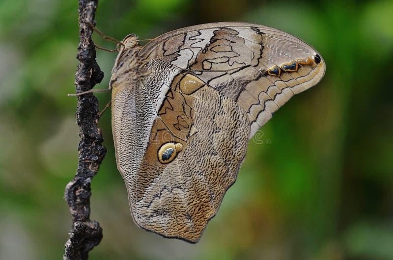 Papillon de Brown sur la tige d'usine photo stock