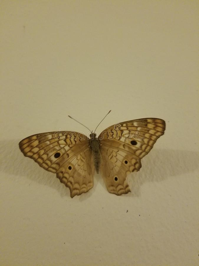 Papillon de Brown sur le mur photos libres de droits