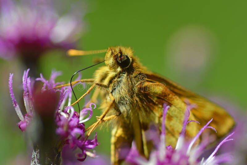 Papillon de capitaine sur l'herbe de Saint-Jacques photographie stock libre de droits