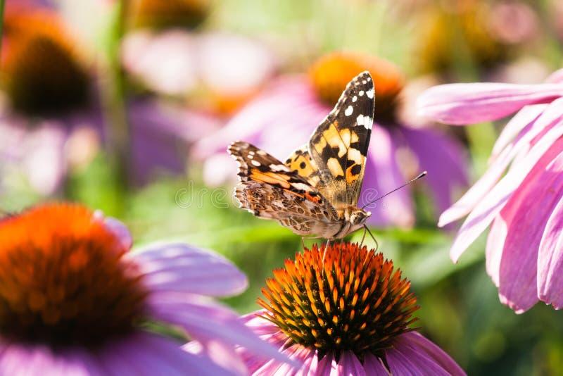 Papillon de cardui de Vanessa sur une fleur photos stock