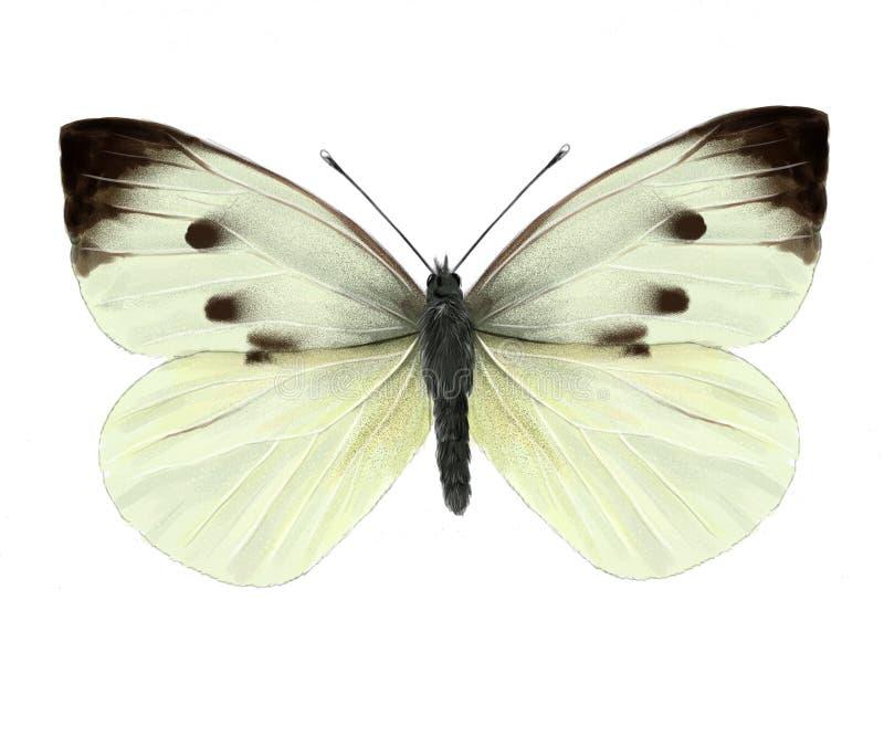 Papillon de chou illustration stock
