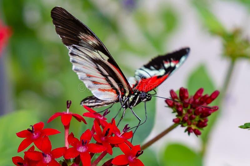 Papillon de clé de piano de facteur alimentant sur la fleur de lanceolata de pentas image stock