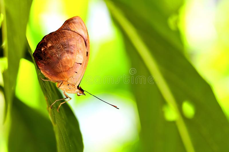Papillon de cordonnier (macro de dessous) image stock