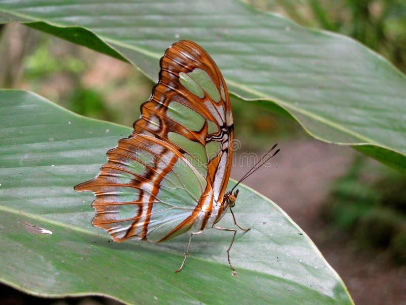 Papillon de Costa Rican images libres de droits