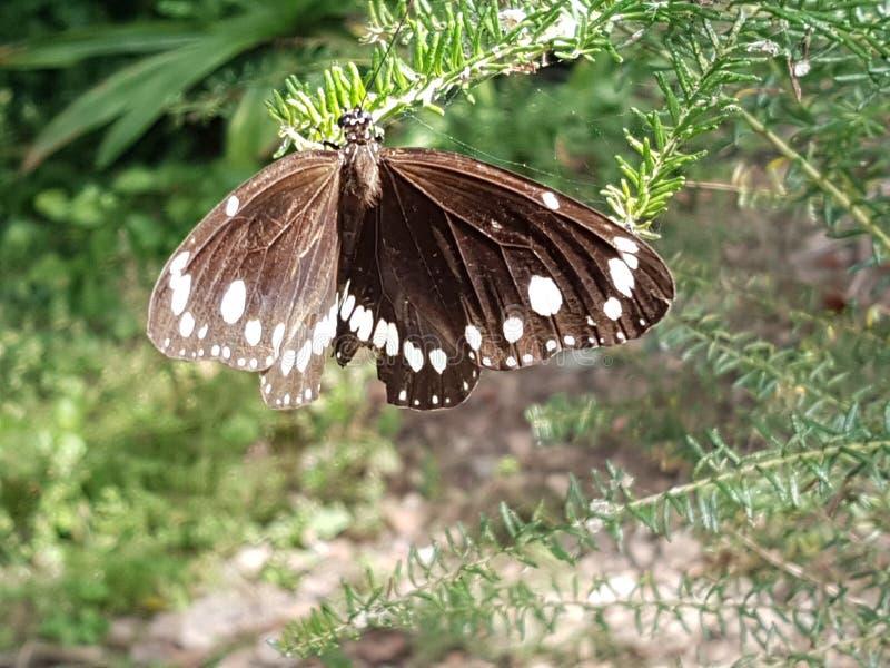 Papillon de deux Marque-corneilles images stock