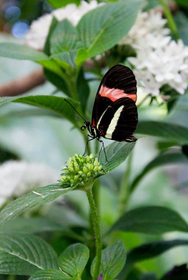 Papillon de facteur photographie stock libre de droits