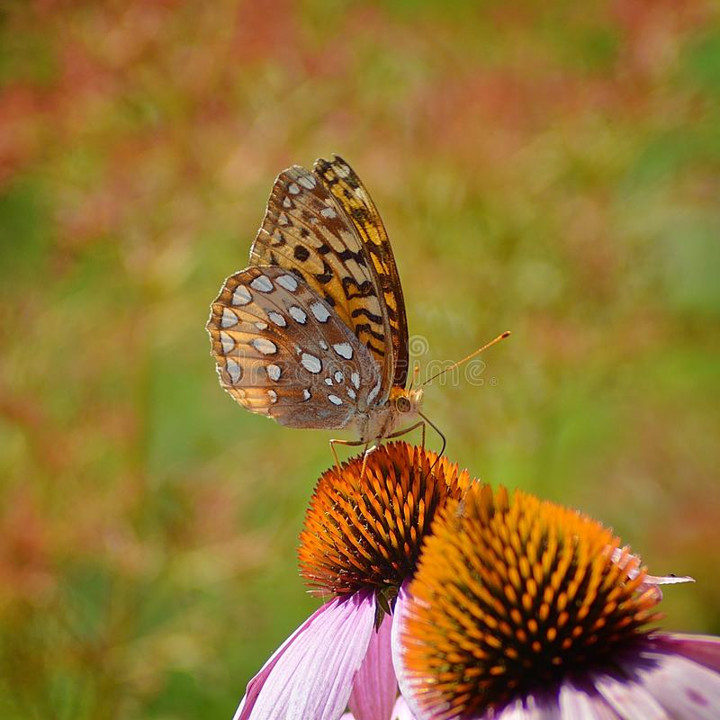 Papillon de fritillaire photographie stock libre de droits
