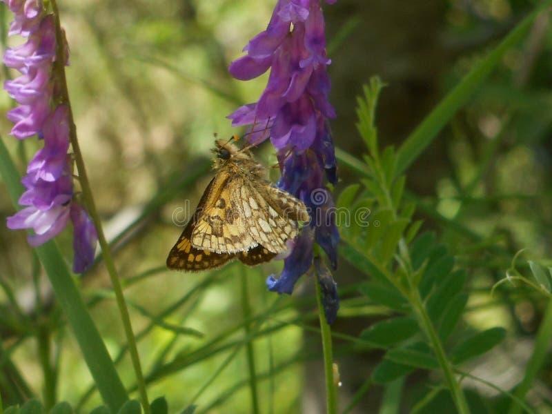 Papillon de fritillaire dans les montagnes de l'Italie images libres de droits