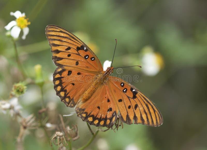 Papillon de fritillaire de Golfe en Géorgie photographie stock libre de droits