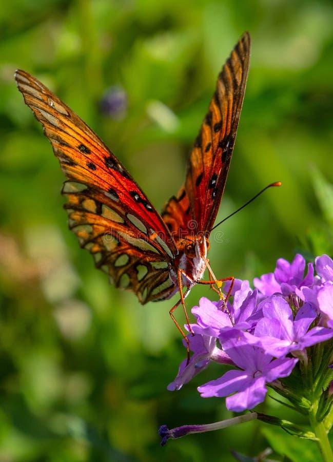Papillon de fritillaire de Golfe sur la fleur pourpre photos stock