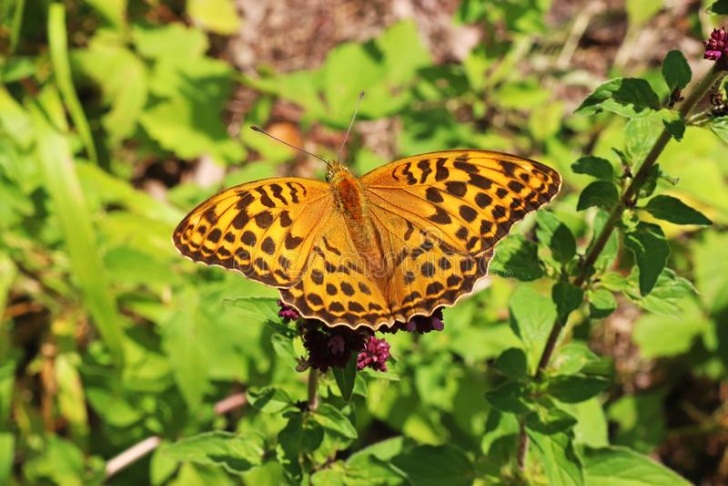 Papillon de fritillaire se reposant sur une fleur image libre de droits