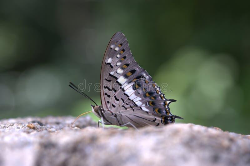 Papillon de Grey Thailand sur une pierre image stock