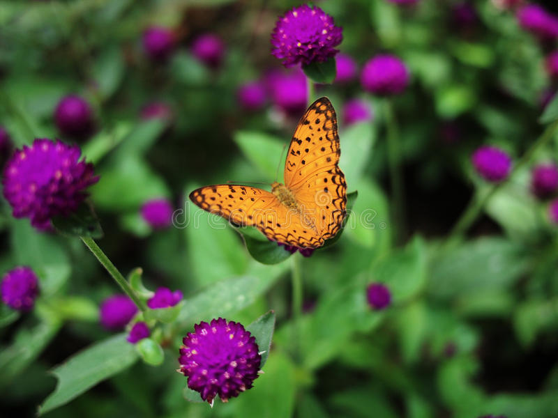Papillon de guépard photographie stock libre de droits