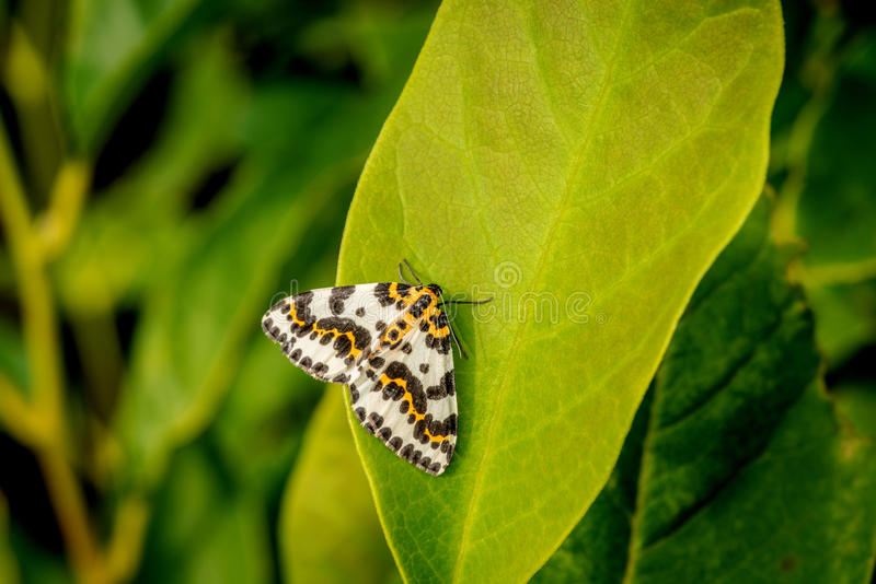 Papillon de Harlekin sur une grande feuille verte photographie stock
