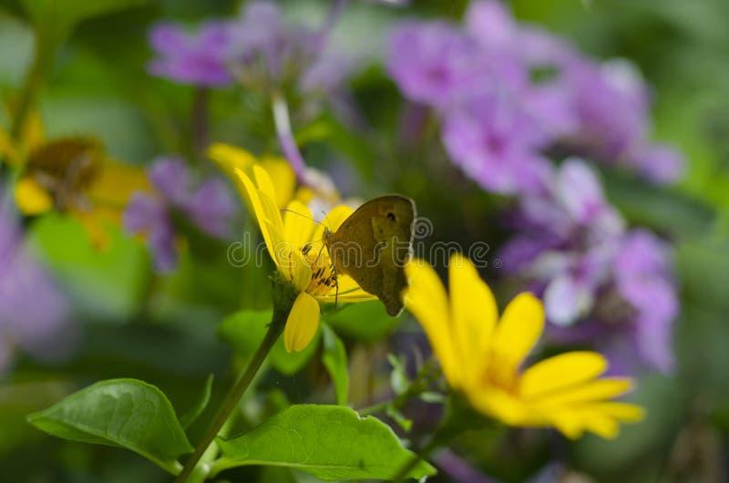 Papillon de hyperantus d'Aphantopus se reposant sur les fleurs jaunes de la famille d'aster de tournesol, Chrysopsis connu sous l photos libres de droits