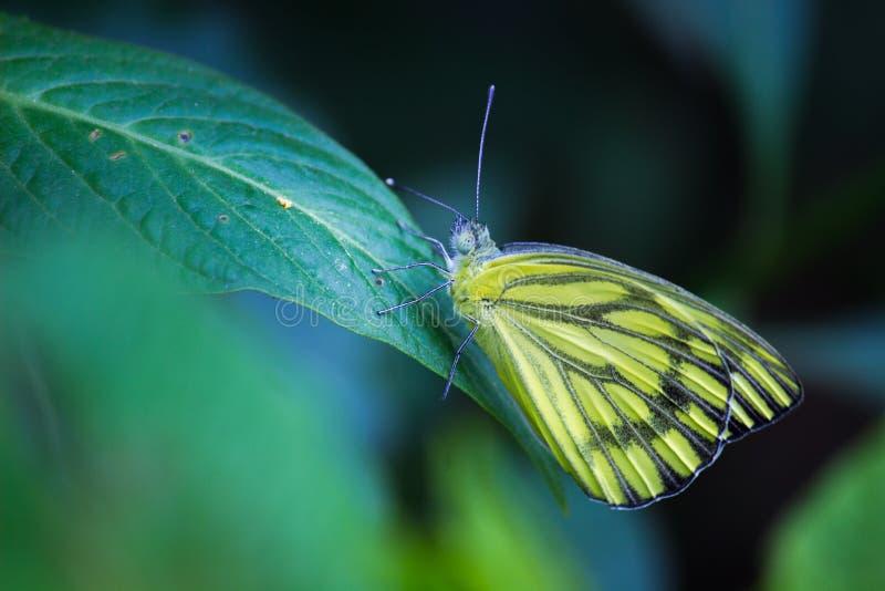 Papillon de Jézabel d'Indien se reposant sur la feuille verte photo stock