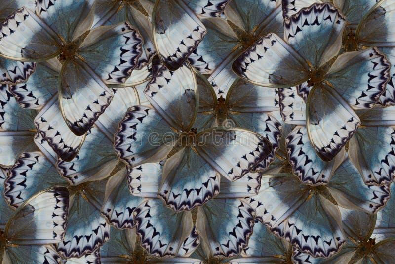 Papillon de Junglequeen de Cambodgien (howqua de Stichophthalma) illustration libre de droits