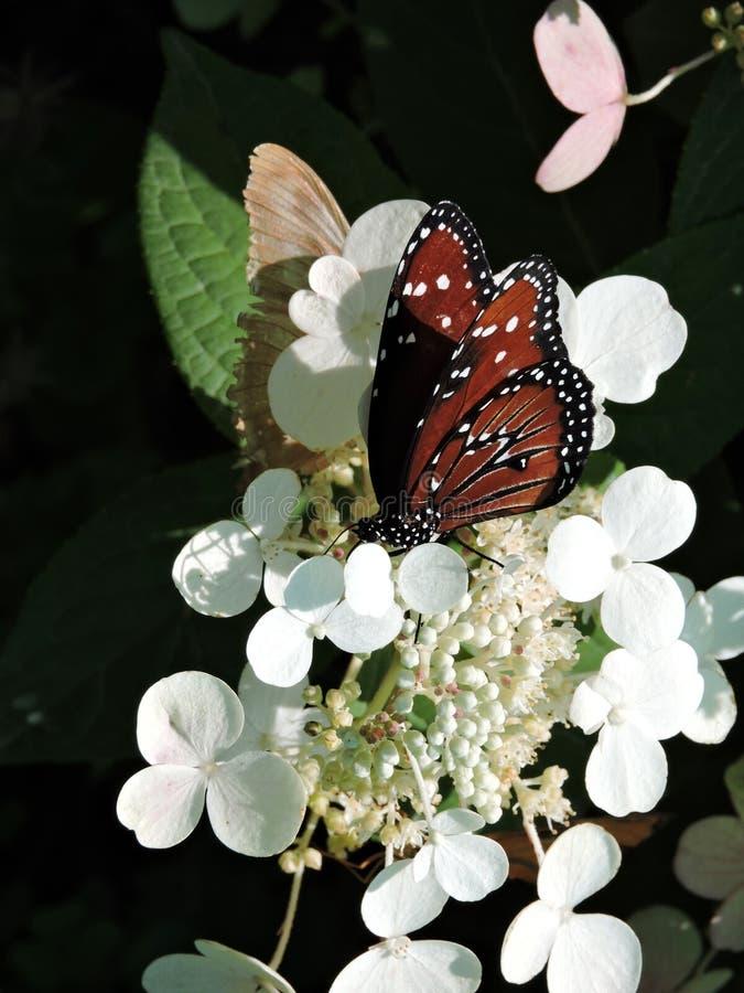 Papillon de la Reine alimentant sur une fleur blanche images stock