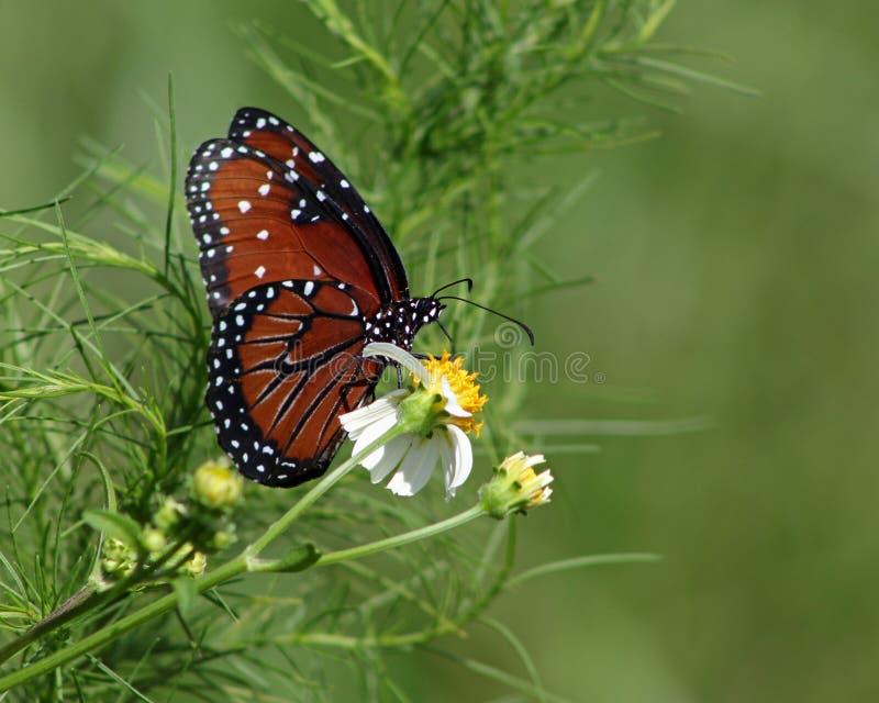 Papillon de la Reine pollinisant la fleur d'aiguilles espagnoles photo stock
