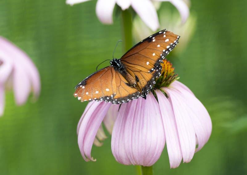 Papillon de la Reine sur un coneflower pourpre photo libre de droits