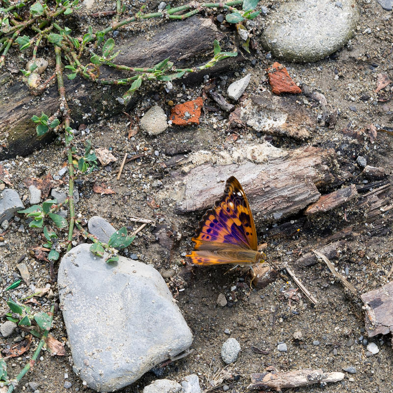 Papillon de Lesser Purple Emperor - ilia d'Apatura photos stock
