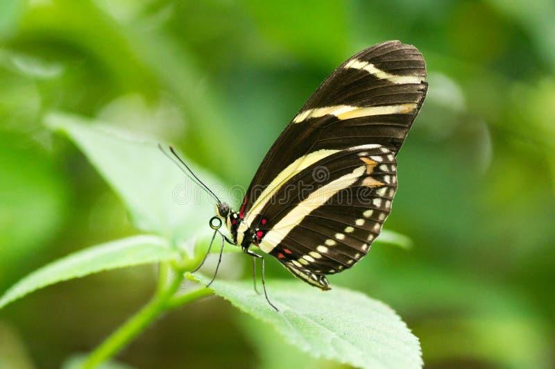 Papillon de Longwing de zèbre image libre de droits