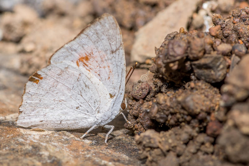 Papillon de mâle de Sunbeam d'Indien images libres de droits