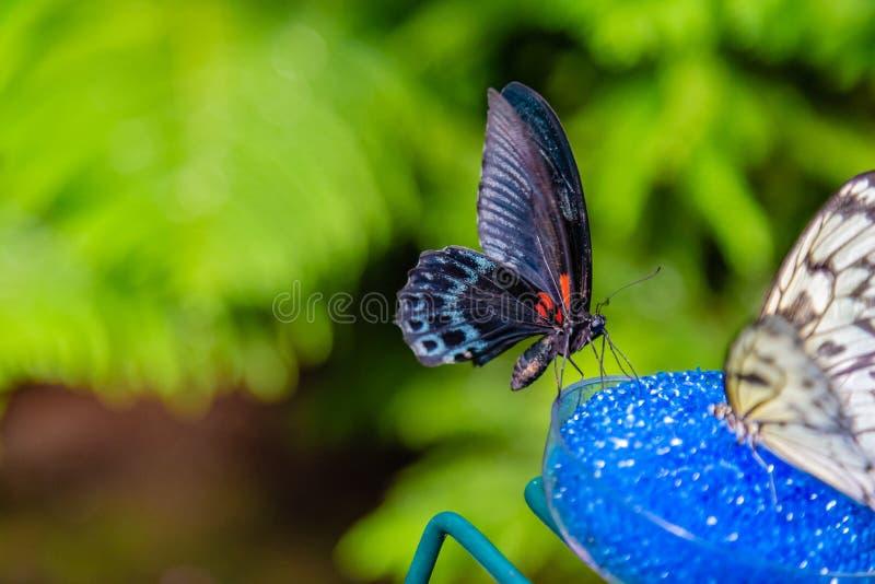 Papillon de machaon d'écarlate avec des ailes fermées image libre de droits
