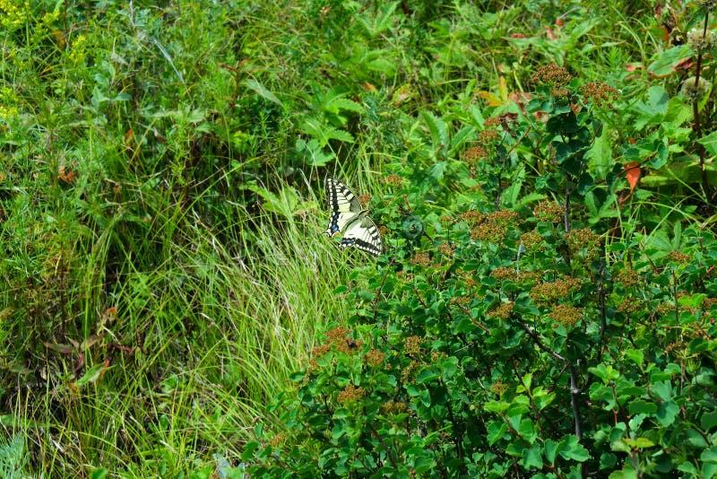 Papillon de machaon en montagnes d'Altai image libre de droits