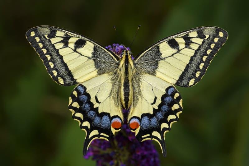 Papillon de machaon de Vieux Monde - machaon de Papilio photo libre de droits