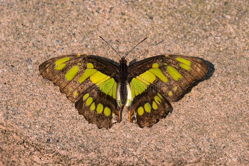 Papillon de malachite images stock