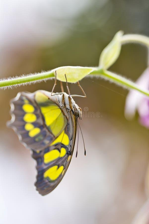 Papillon de malachite images libres de droits
