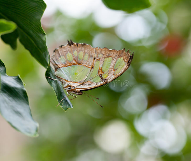 Papillon de malachite photos libres de droits