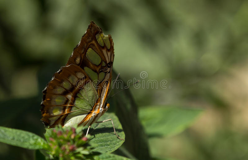 Papillon de malachite photo stock