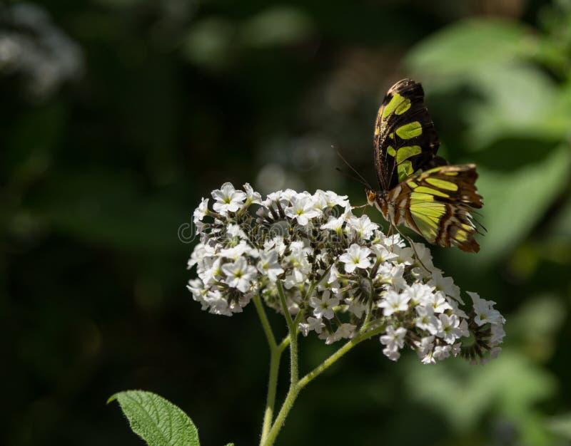 Papillon de malachite image libre de droits
