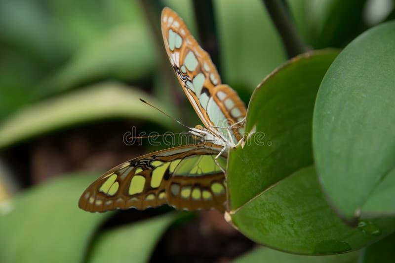 Papillon de malachite photographie stock libre de droits