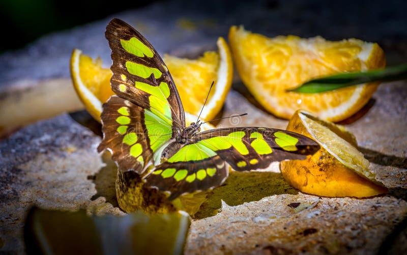 Papillon de malachite alimentant sur des fruits images stock