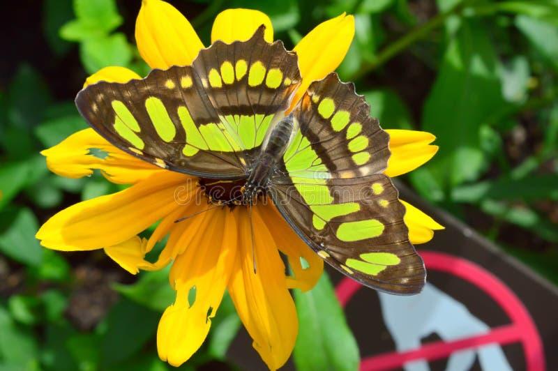 Papillon de malachite de la Floride photographie stock libre de droits