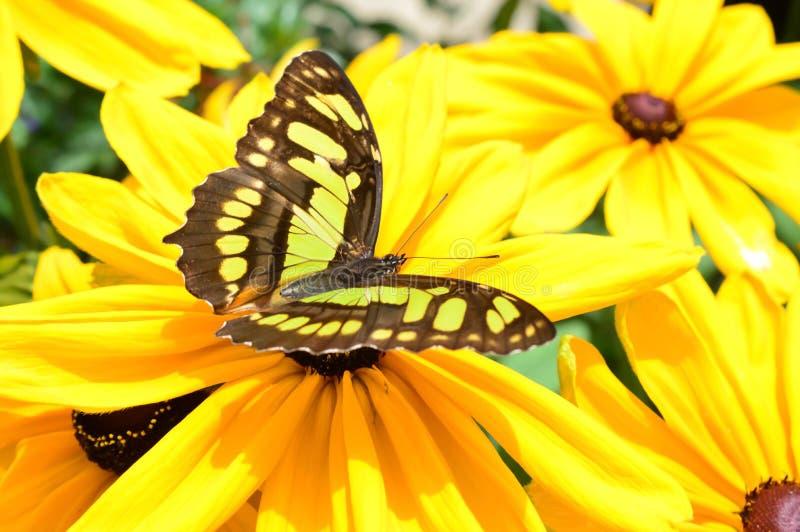 Papillon de malachite de la Floride sur la fleur photo stock