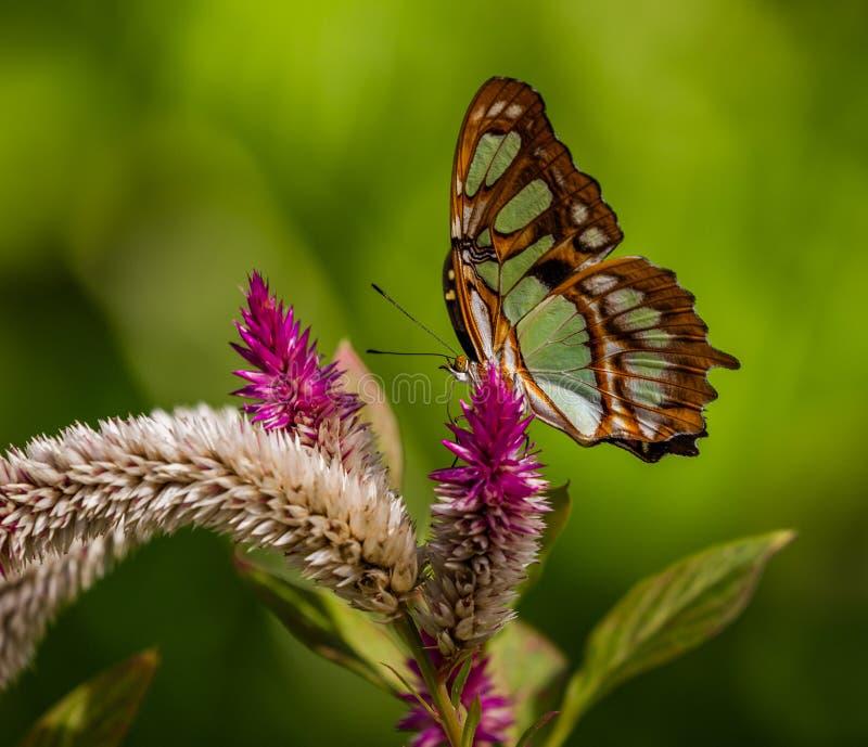 Papillon de malachite, indigène à la Floride image libre de droits
