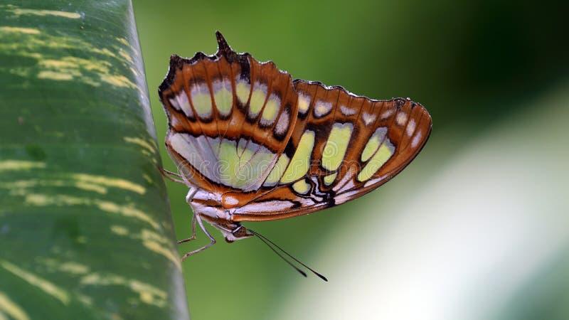 Papillon de malachite - stelenes de Siproeta images stock