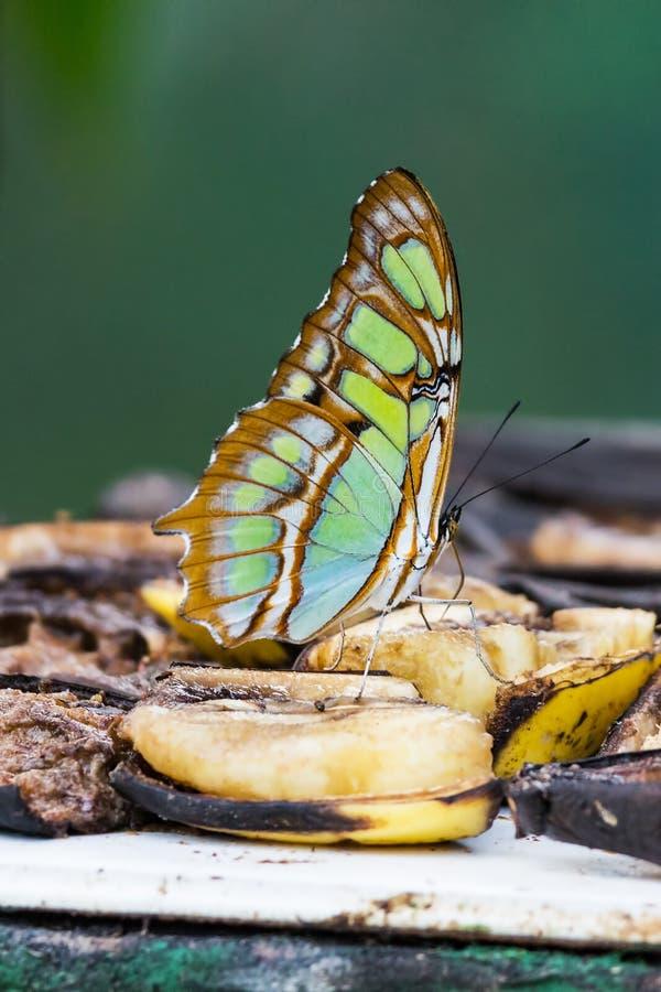Papillon de malachite, stelenes de Siproeta - Costa Rica photo stock