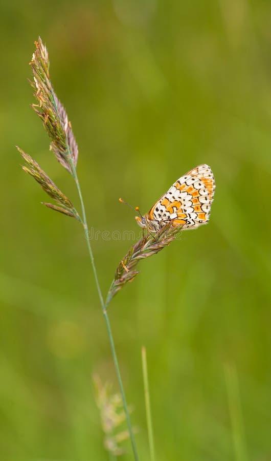 Papillon de Melitaea sur la tige culture des graines d'herbe photographie stock libre de droits